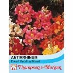 Antirrhinum nanum 'Dwarf Bedding Mixed'
