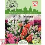 Antirrhinum majus pumilum 'Magic Carpet' - Kew Collection Seeds