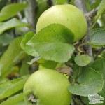 Apple Bramley Seedling