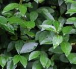 Prunus lau Rotondifolia30-45BR