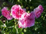 Rosa 'Antique Pink'