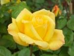 Rosa 'Arthur Bell'