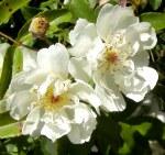 Rosa 'Banksiae Alba Plena'