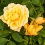 Rosa 'Banksiae Lutea'