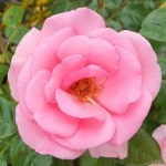 Rosa 'Bantry Bay'