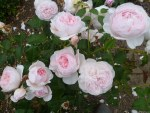 Rosa ' Wedgewood Rose''