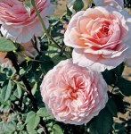 Rosa ''William Morris'
