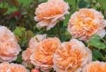 Rosa  'The Lady Gardener'