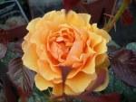 Rosa 'Amber Queen'