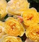 Rosa 'Belle de Jour'
