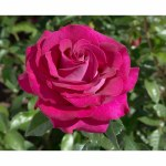 Rosa 'Belle Rives'