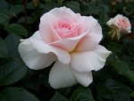 Rosa  'Whiter Shade of Pale'