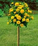 Rosa 'Arthur Bell' Standard