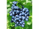 Vitus vinifera Venus