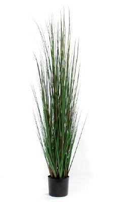 6' Green Horsetail Grass Potted