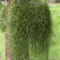8 oz. Green Preserved Spanish Moss