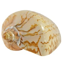 "6"" Polished Voluta Nobilis Shell"