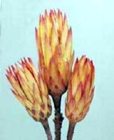 """12"""" Red Dried Protea Repens Flower Bud"""