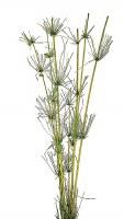 "36"" Green Dried Star Bamboo Stalks"