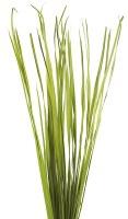 "7 oz Bunch of 36""-40"" Green Rush Grass"