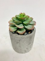 "6"" Green Red Tip Echeveria In Cement Pot"