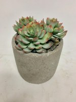 "8"" Triple Echeveria In Cement Pot"