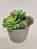 "8"" Mix Echeveria In Cement Pot"