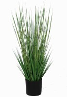 5' Green Horsetail Grass Potted