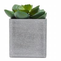 "3.5"" Two Toned Echeveria With Square Gray Pot"