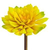 """6"""" Yellow Echeveria"""