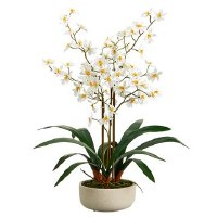 "28"" White Oncidium In Beige Pot"