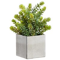 "12"" Green and Gray Sedum in Square Pot"