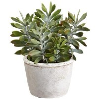 "10"" Green and Gray Crassula In Round Pot"