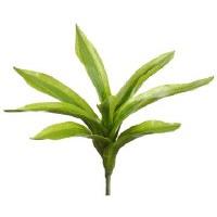 """10"""" Lime and Green Dracaena"""