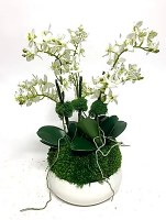 "17"" Triple Mini White Orchid In Small White Pot"