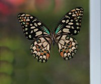 "4"" Tan Butterfly Screen Saver"