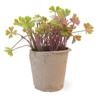 "6"" Clovers and White Flowers in Cement Pot"