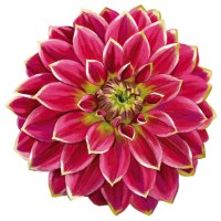 "4"" Pink and Green Dahlia Radiant Floral Screen Saver"
