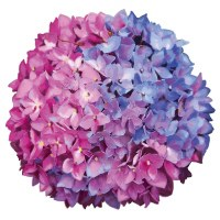 "4"" Pink and Blue Hydrangea Radiant Floral Screen Saver"