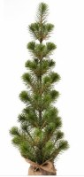 "25"" Green Mini White Spruce Seedling Tree in Burlap Stand"