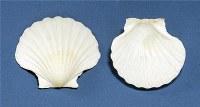 """3 - 4"""" Irish Deep Single Shells"""
