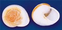 "3 - 4"" Mountain Land Snail Shell"