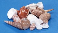 """1 - 3"""" Mixed 1 Kilogram Indian Shell Bag"""