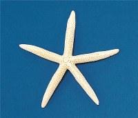 "8 - 10"" Slender Bleached White Starfish"
