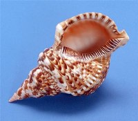 "7 - 8"" Triton Shell"