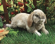 Lapin Holland lop