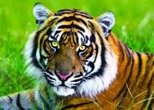 Casse-tête 500 mcx - Tigre