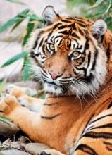 Casse-tête, 1000 mcx - Tigre de Sumatra