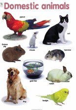 Poster Domestic Animals
