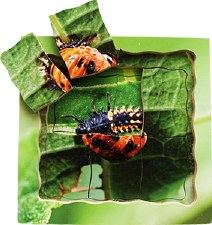 Life Cycle Of Ladybird Puzzle